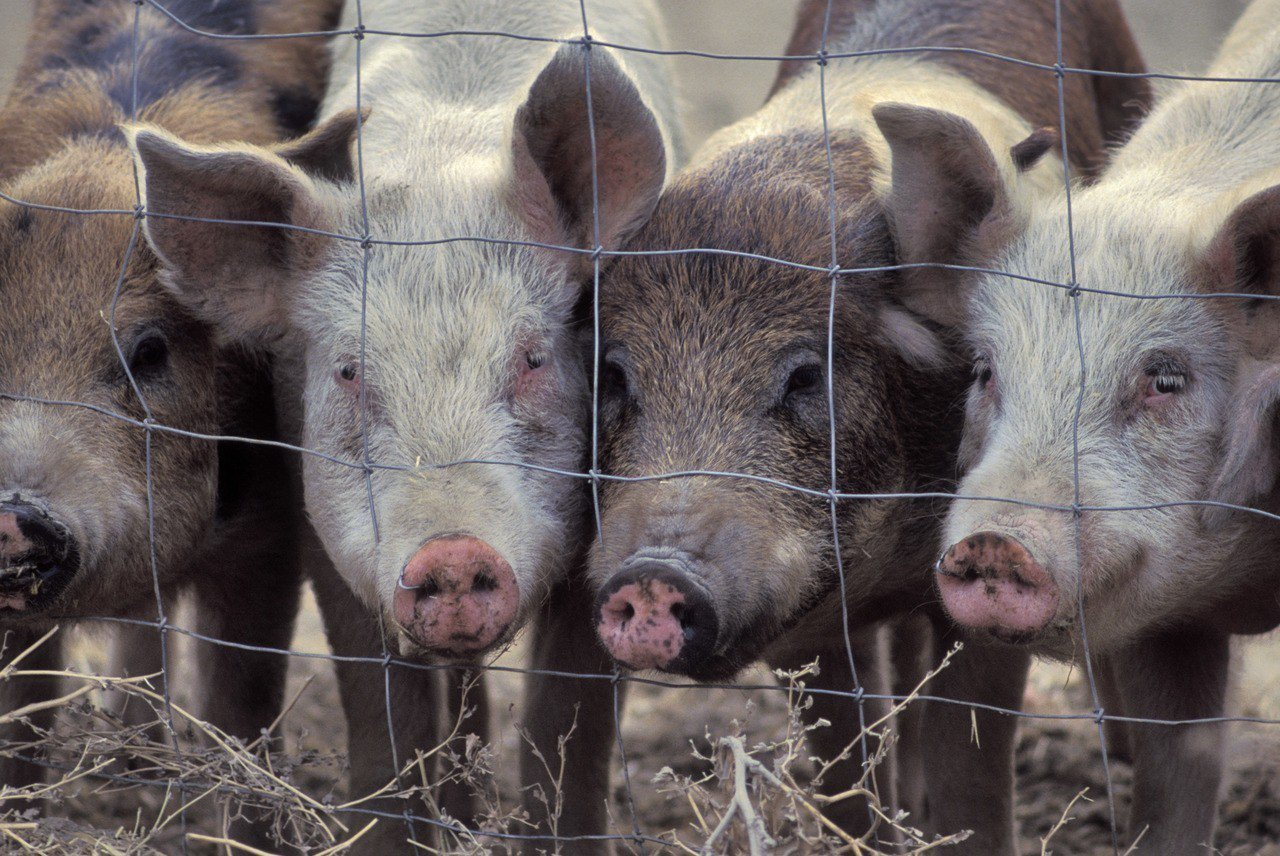 北韓加強措施防堵高度傳染性且致命的非洲豬瘟疫情蔓延。。 示意圖/Ingimage