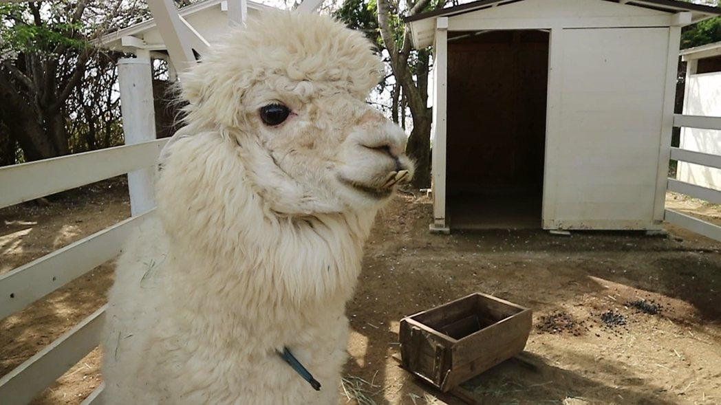 迷你牧場養了小羊、迷你豬、羊駝等,成為當地知名的觀光景點之一。記者蔡佩芳/攝影