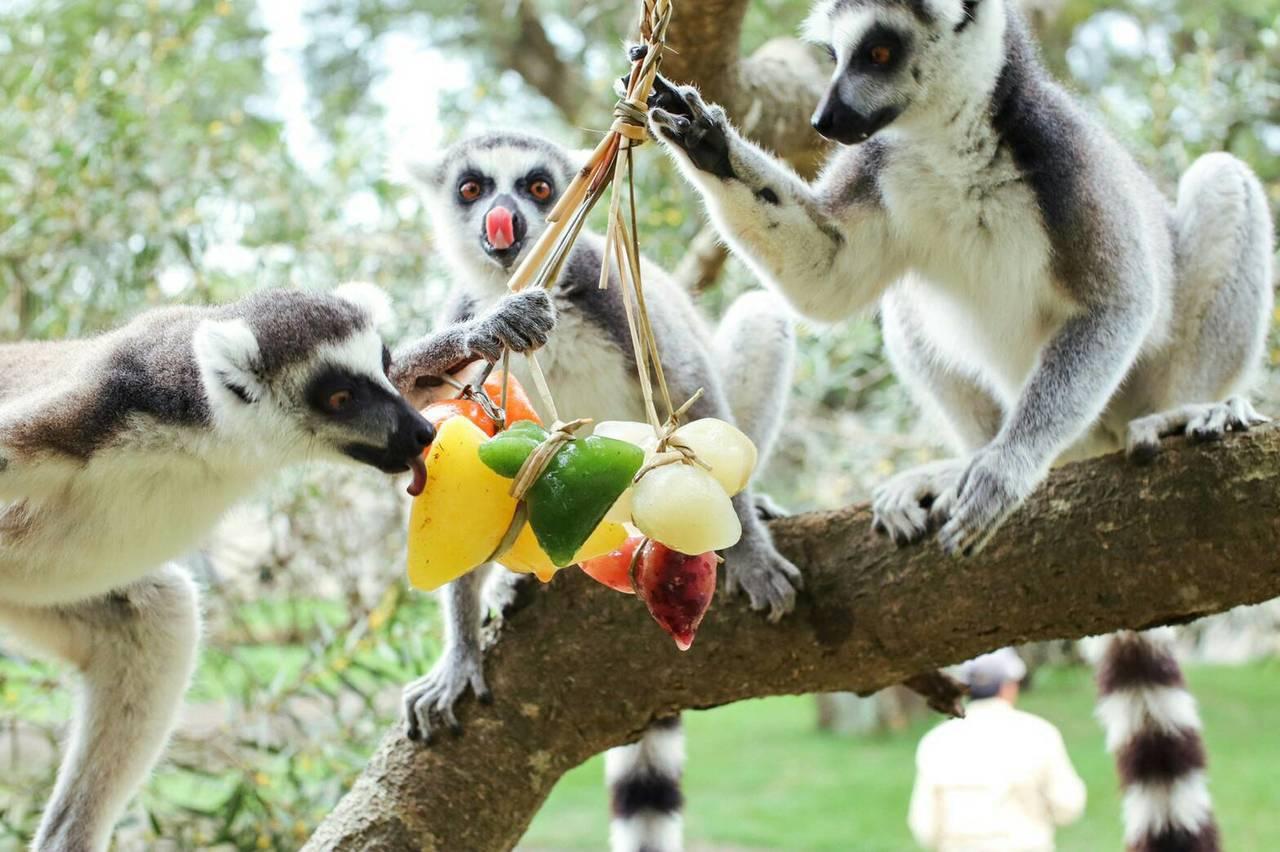 應景彩色果汁粽,讓環尾狐猴吃的津津有味。圖/六福村提供