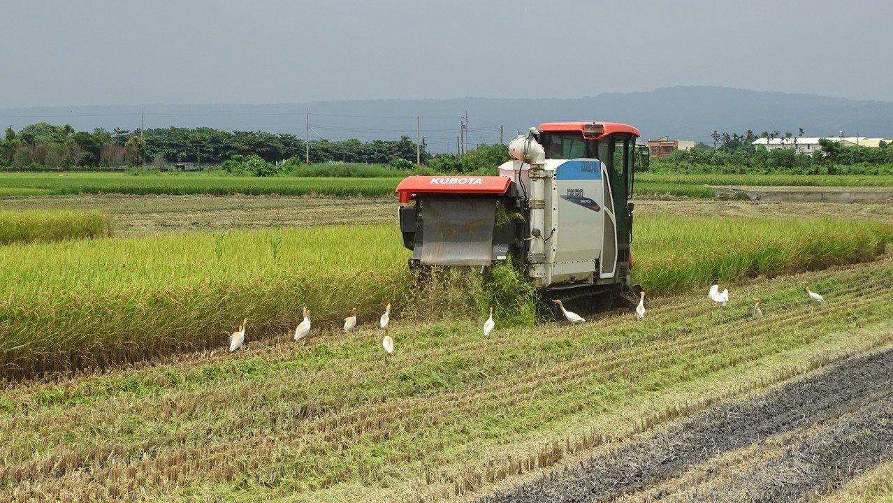 溪州鄉農民今天開始收割一期稻,是彰化縣最早收割的鄉鎮市,吸引蒼頭鷺飛來覓食。記者...