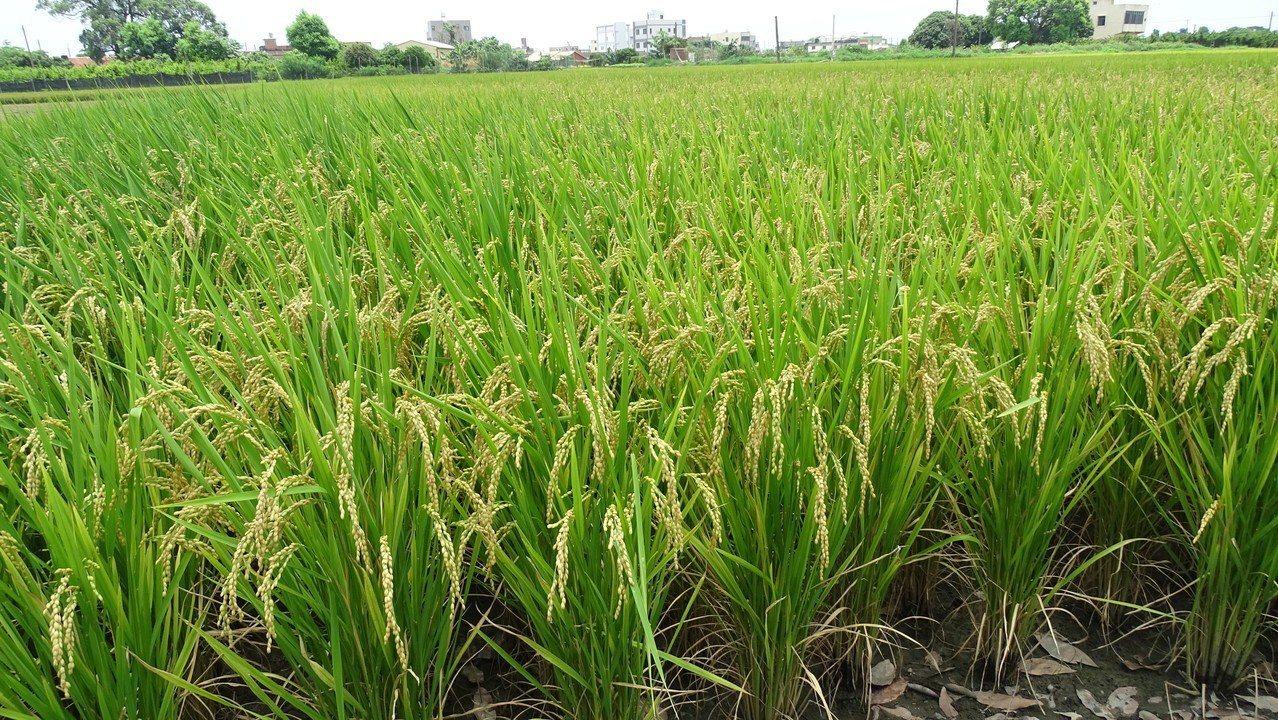 溪州鄉早種的一期稻已成熟,今天有人開始收割運到農會線公糧,是彰化縣最早收割的鄉鎮...