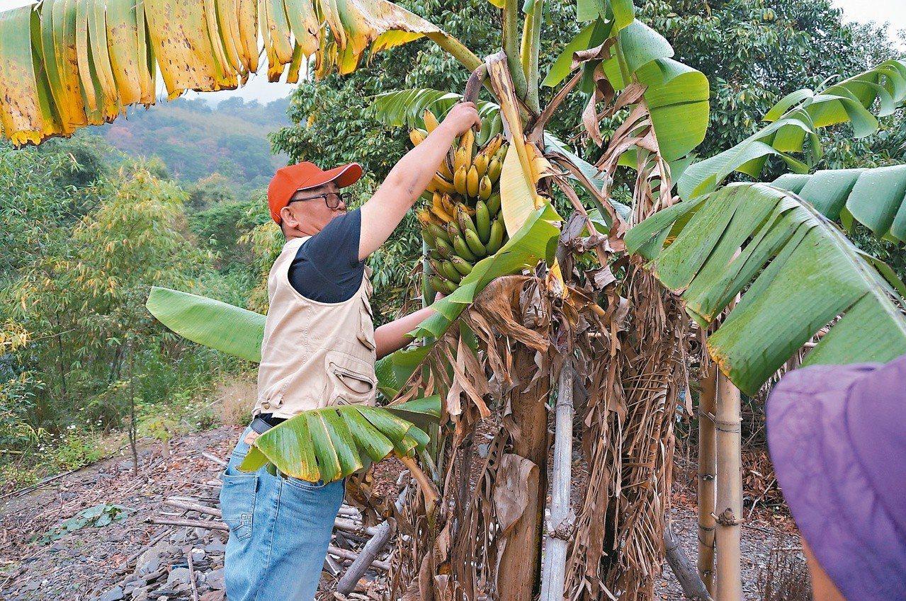 搶在猴子前收割熟香蕉。 圖/巴代提供