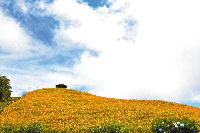 太麻里金針山,滿山的金黃亮眼。 圖片提供/鄒敦怜