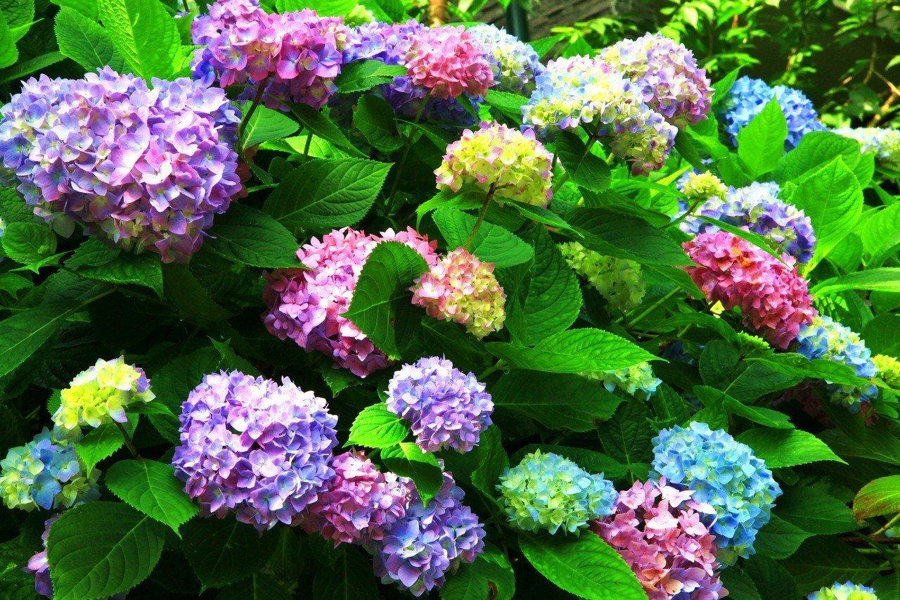 杉林溪迎來全台最盛大的繡球花季,20萬朵同時盛開的花季美景在眼前。記者黑中亮/攝...