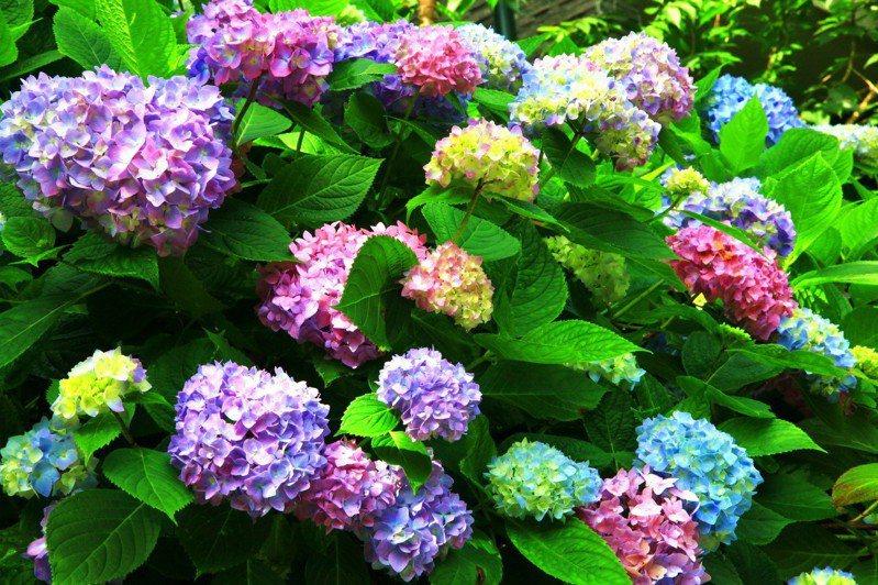杉林溪迎來全台最盛大的繡球花季,20萬朵同時盛開的花季美景在眼前。記者黑中亮/攝影