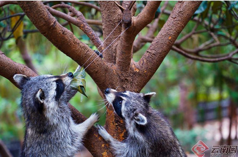 由於草食動物和肉食動物各有所愛,雲南野生動物園投其所好,客製化安排專屬餡料,比如...