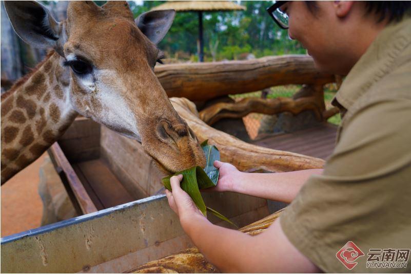 長頸鹿除了樹葉大餐,還有胡蘿蔔餡的甜粽加餐。取自雲南網