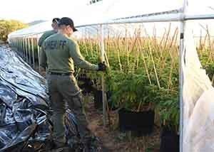 大麻扫荡配稿 帮派和原住民保留地