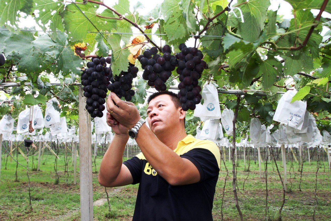 巨峰葡萄進入採收期,大村鄉青農賴昶睿一喜一憂,喜是今年將豐收,憂是梅雨鋒雨又來。...