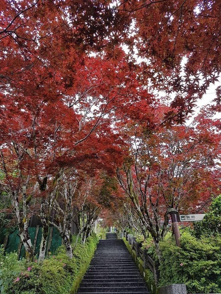 太平山莊可賞紫葉槭。圖/林務局羅東林區管理處提供