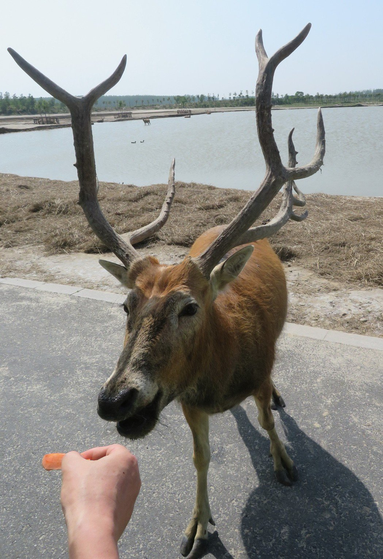 大豐麋鹿保護區內的中華麋鹿園可以讓遊客透過餵食,與麋鹿近距離接觸。 記者林則宏/...