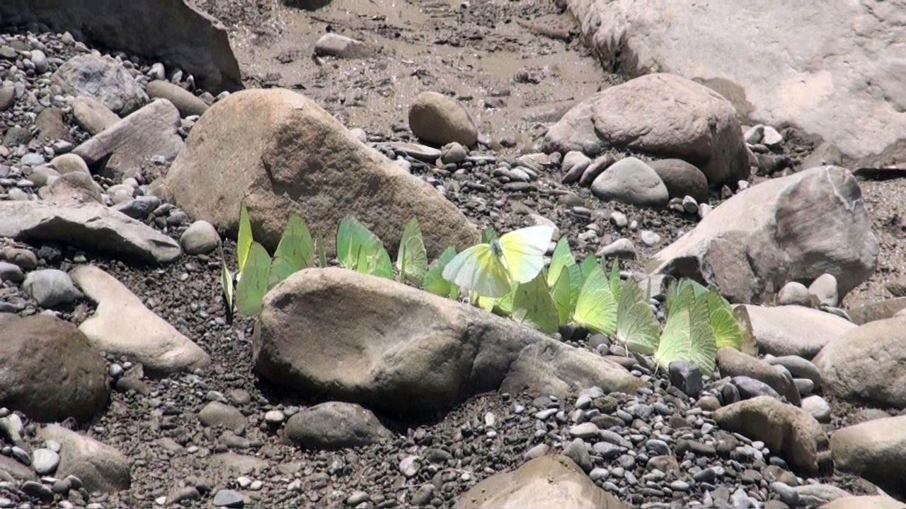 曾經每年黃蝶大爆發 地方疾呼維繫黃蝶翠谷生態