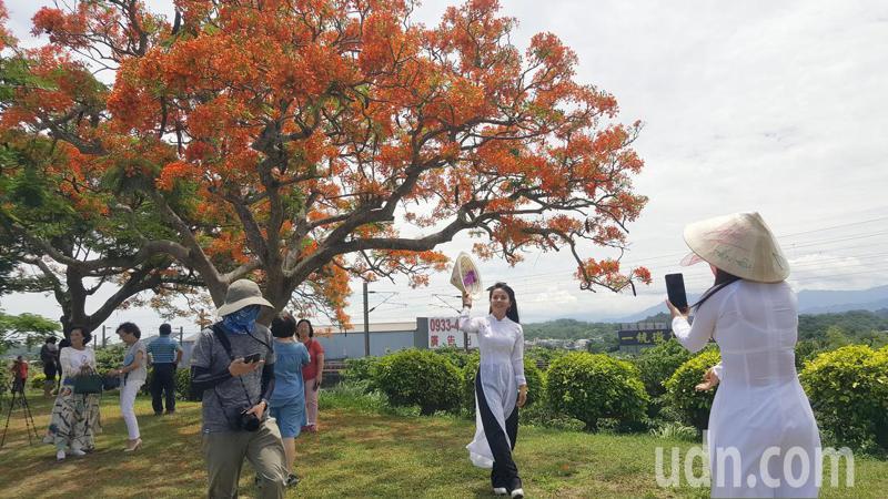 嫁來台灣十多年的越南新住民黃怡倫、范氏嬌穿傳越南國服,到造橋鳳凰木拍照,紅白對比尤其醒目。記者胡蓬生/攝影