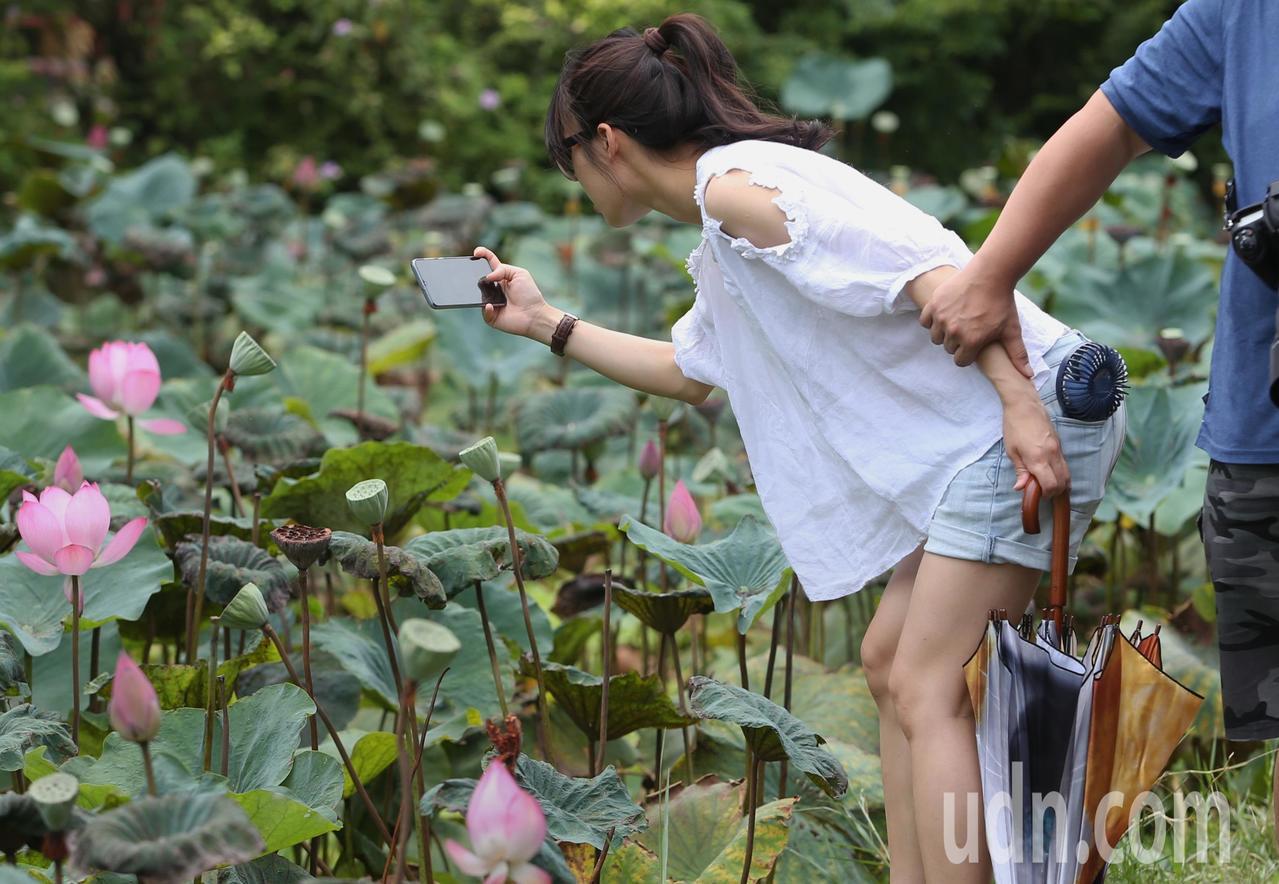 全台高溫炎熱,民眾前往台北植物園荷花池畔賞花。記者侯永全/攝影