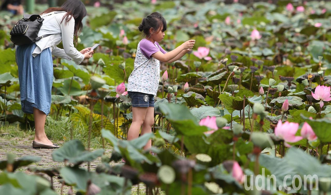 端午連假最後一天,全台高溫炎熱,大人小孩到台北植物園荷花池,拍下荷花季近尾聲的粉...