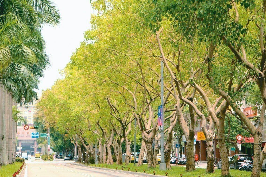 台北市仁愛路種植成排的菩提樹,是都會區少見的一串綠廊,讓人忘卻煩憂,暑氣全消。 ...