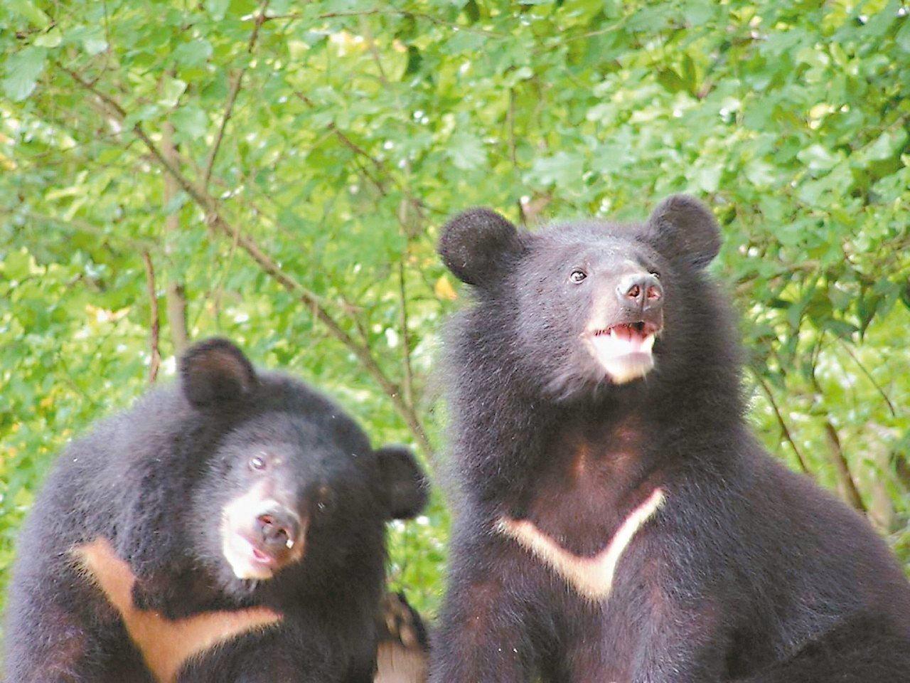 台灣黑熊在玉山塔塔加覓食。 圖/玉管處提供