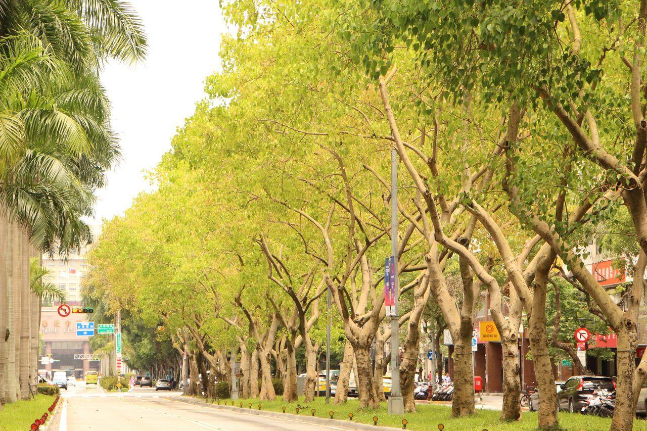 台北市仁愛路種植成排的菩提樹,是都會區少見的一串綠廊,讓人忘卻煩憂,暑氣全消。圖...