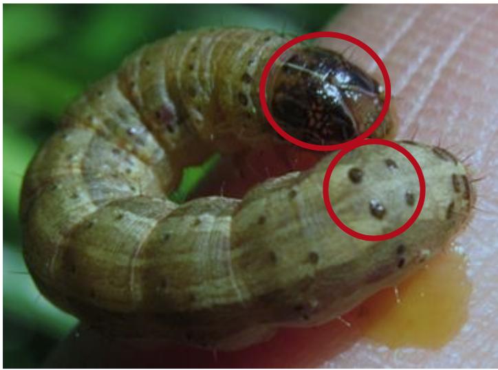 秋行軍蟲成熟幼蟲頭殼可見一黃色倒 Y 狀紋路,背部各體節具梯形狀分布之四個斑點,...