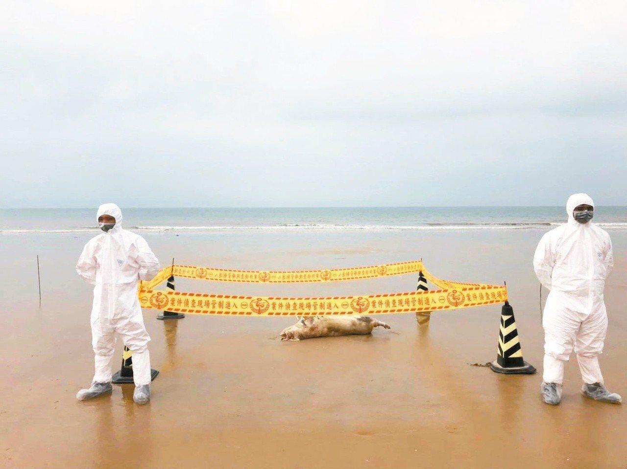 金門本周在岸際又發現2隻海漂豬屍,遭驗出非洲豬瘟病毒核酸陽性,圖為防疫人員處理情...