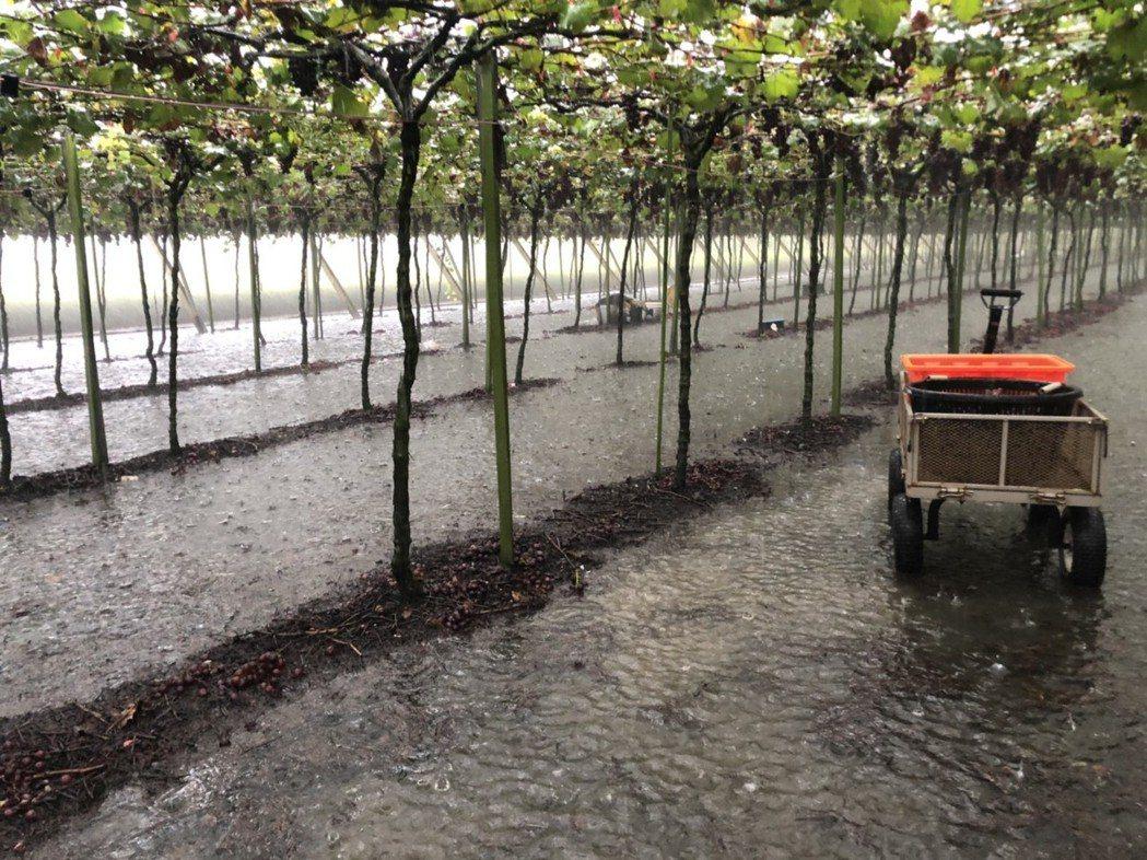 大雨斷斷續續,溪湖葡萄園淹水。記者林敬家/攝影