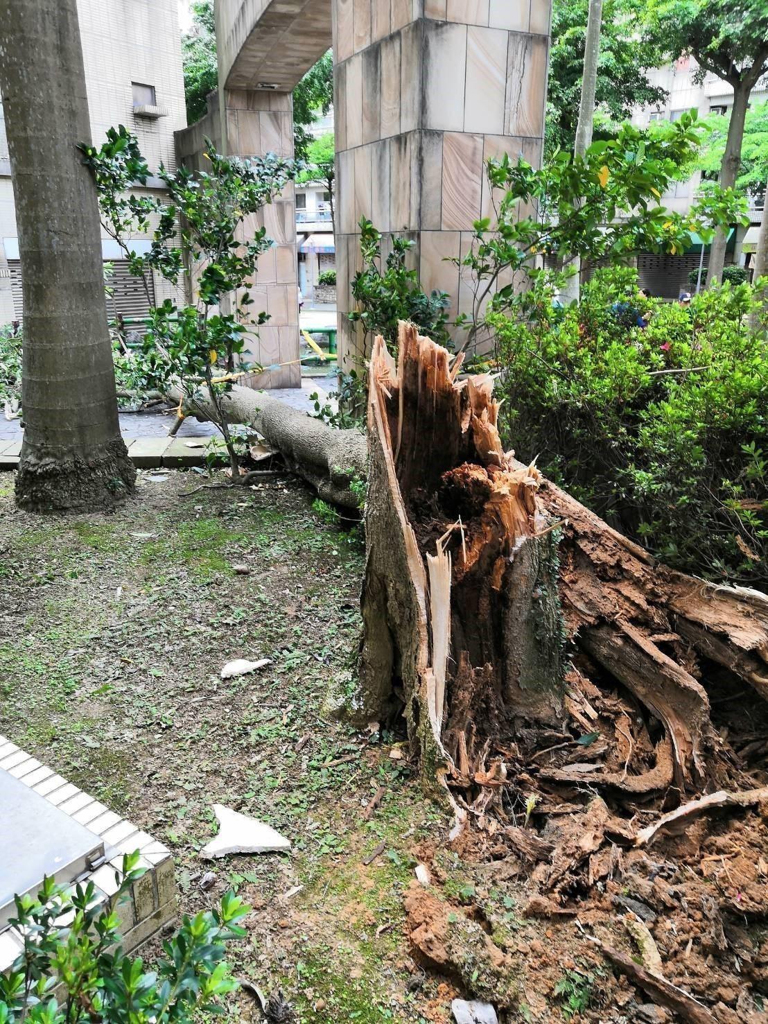 砸死80歲老婦黑板木,樹幹受白蟻侵蝕嚴重。記者張弘昌/翻攝
