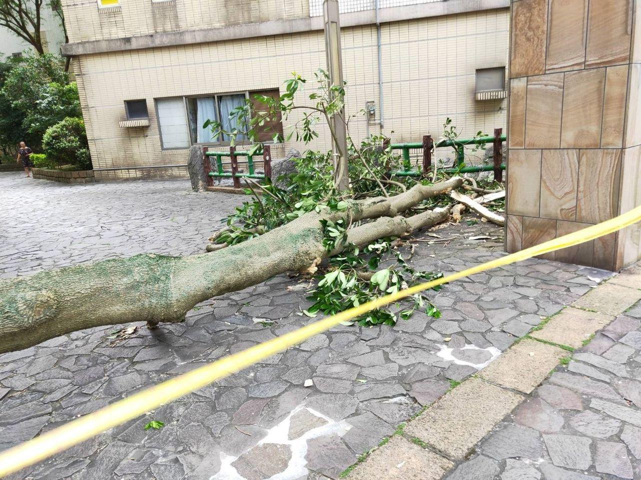 桃園市發生黑板木,被白蟻侵蝕樹幹中空,外表仍存活的高大樹木,9日上午突倒塌,砸中...