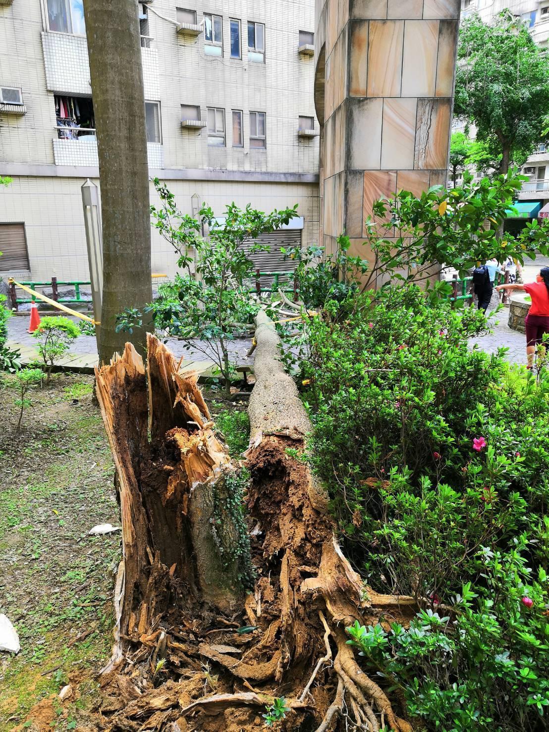 桃園市砸死80歲老婦黑板木,樹幹受白蟻侵蝕嚴重。記者張弘昌/翻攝