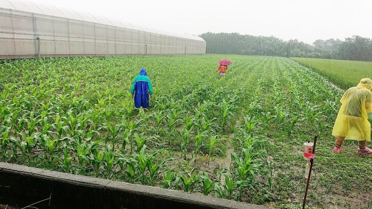 雲林縣傳出疑似秋行軍蟲的蹤影,縣府動植物防疫所今天接獲二位農民通報,在玉米田間發...