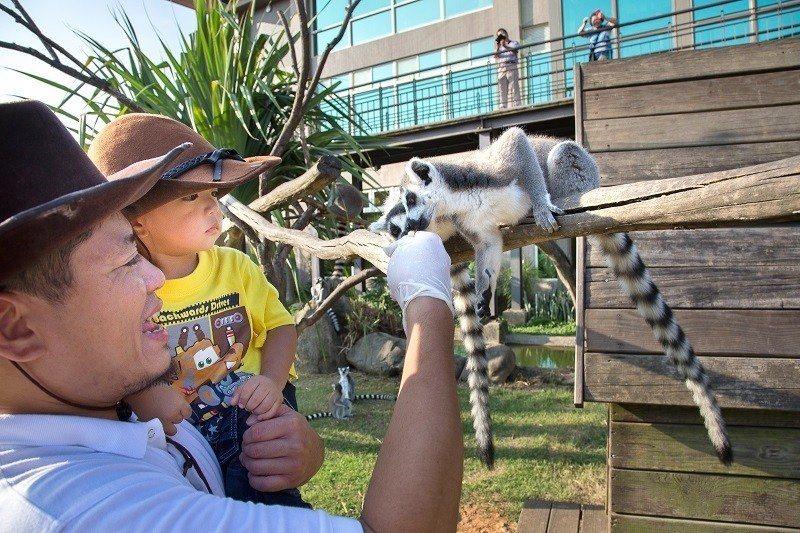 「動物保育零距離戲劇」夏令營還包含六福莊動物保育員體驗活動,餵食環尾狐猴一起近距...