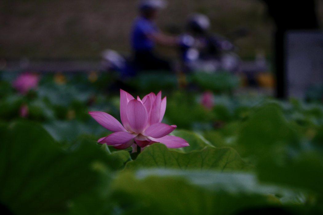 背景是騎著摩托車的賞花人