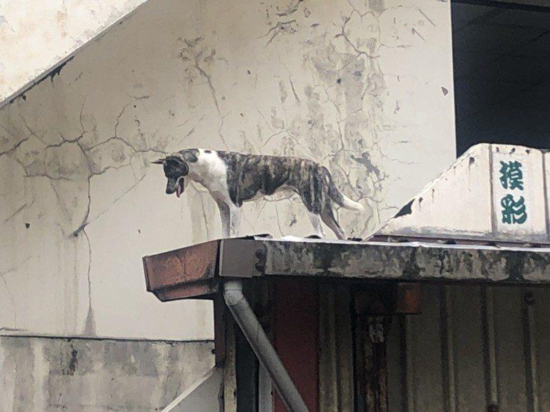 許姓飼主家因為是老屋,2樓鐵皮屋頂和陽台有樓梯相通,有一個通道,狗狗活動自如可跑來跑去,遊客從外面看不出來,才一直發生誤會,以為受困。記者游明煌/攝影