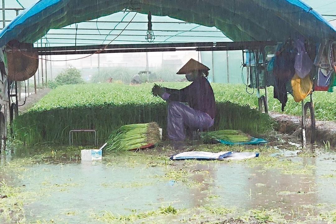 豪雨轟炸 雲嘉農作倒伏泡水
