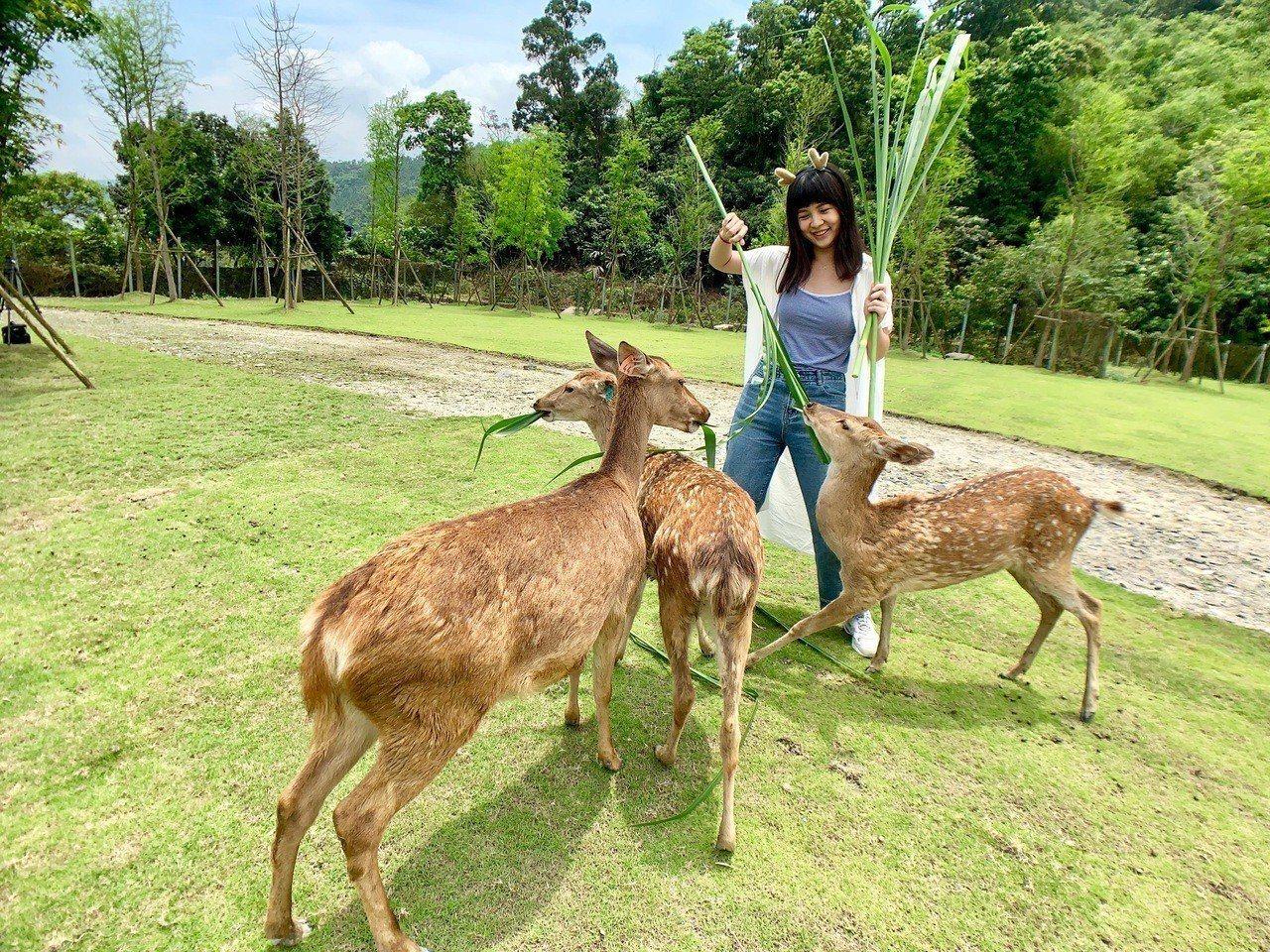 圖/斑比山丘梅花鹿互動區與小鹿們零距離互動。記者張芳瑜/攝影
