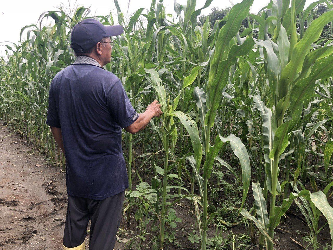 芳苑鄉陳姓農民今天通報自己的玉米園疑似有秋行軍蟲入侵。記者林敬家/攝影