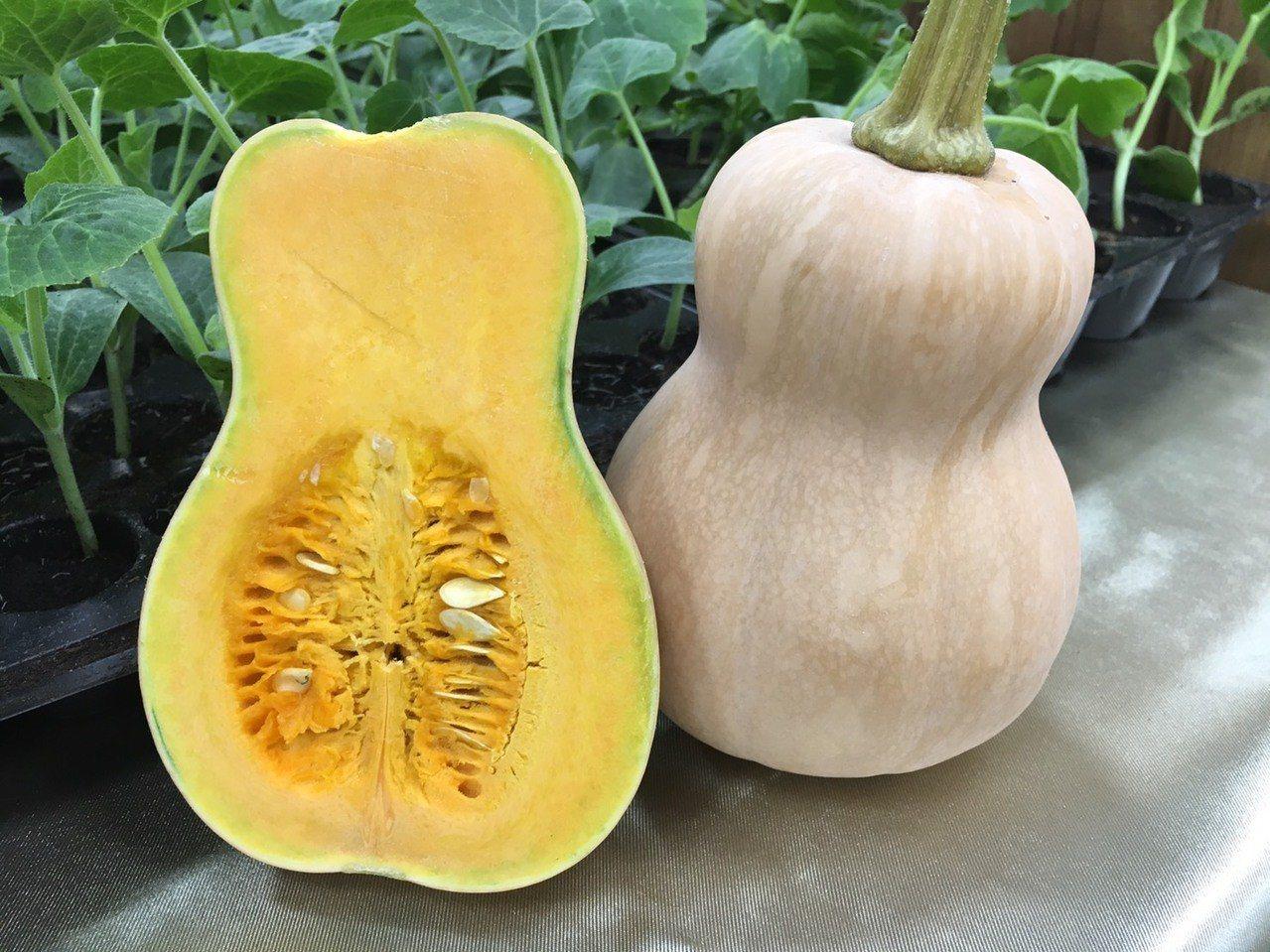 農委會高雄區農業改良場今天推出南瓜新品種「高雄2號—菊島之樂」。記者吳姿賢/攝影