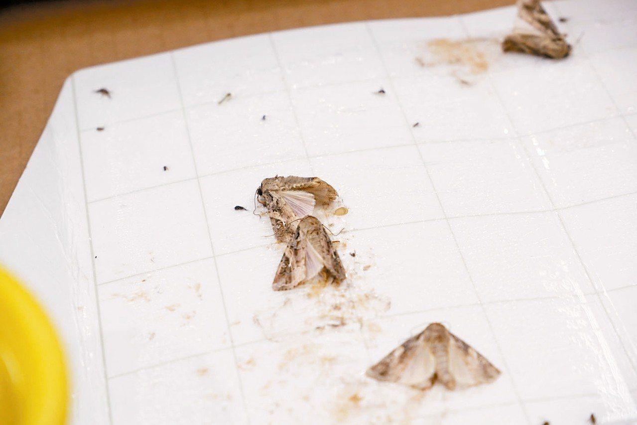 防檢局在馬祖福澳港的偵察點誘集到成蟲,經鑑定確認是秋行軍蟲成蟲。 圖/農委會提供