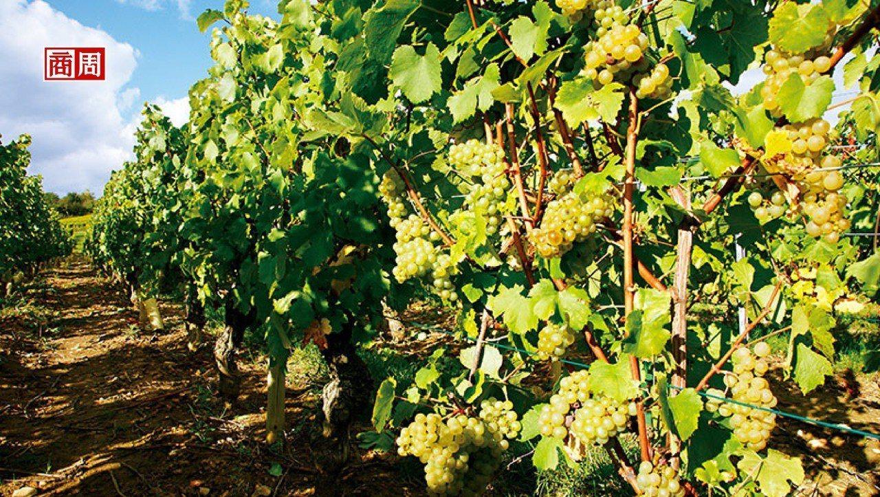 馬貢區超過4百公尺的夏多內葡萄園也能釀造出輕巧多酸的北方風格。(來源.林裕森)
