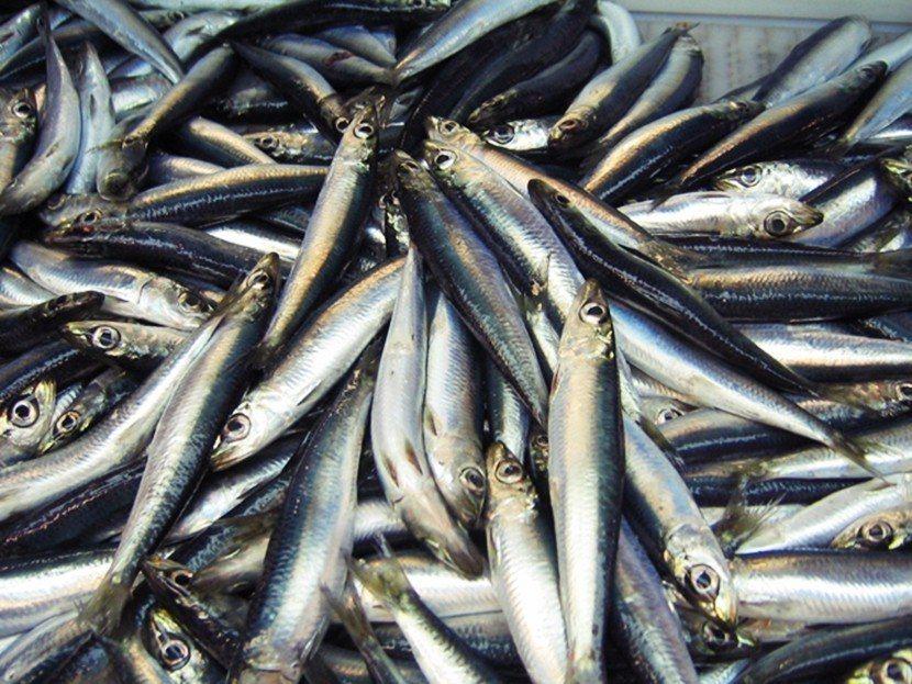 醃鯡魚瑞典文稱作「Surströmming」,其中的「strömming」專指在...