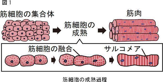 東京大學生產技術研究所和日清食品公司的研究小組的目標是人工培養出塊狀的肌肉組織,...