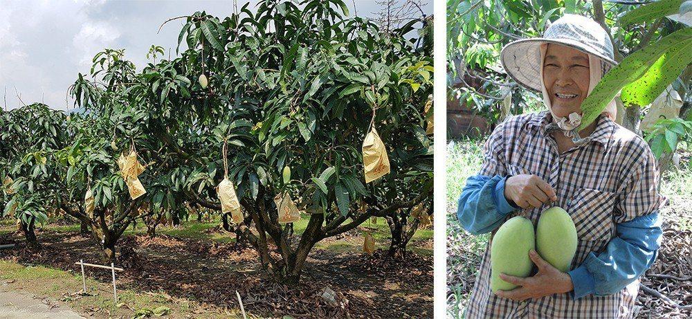 金煌芒果多以採收硬果為主,再進行催熟。 (照片提供/六龜區農會)