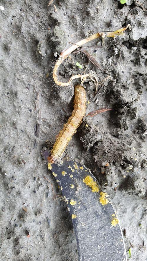 壽豐玉米田發現疑似秋行軍蟲。圖/民眾提供