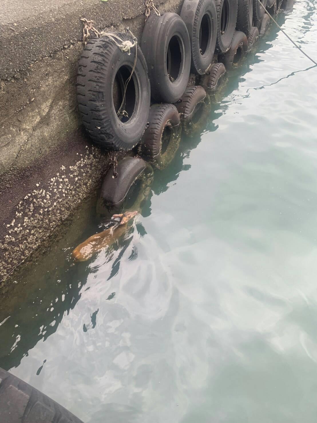 貢寮東北角海域美艷山漁港,今天下午有一隻山羌落海,幸好被岸巡人員救起。圖/第二岸...