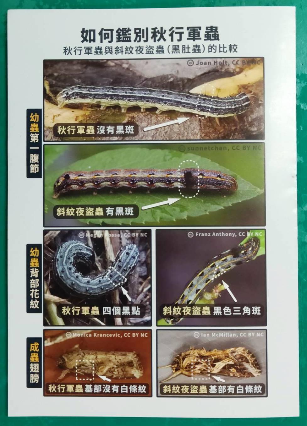 新入侵的秋行軍蟲與多年來常見斜紋夜蟲很相似,防檢局印製摺頁教導民眾如何分辨。記者...