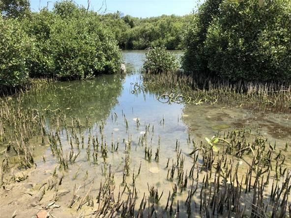 高雄林園海洋濕地公園是全台少數可以看得見水母的潟湖,海茄苳就是水母棲息的地方。圖...