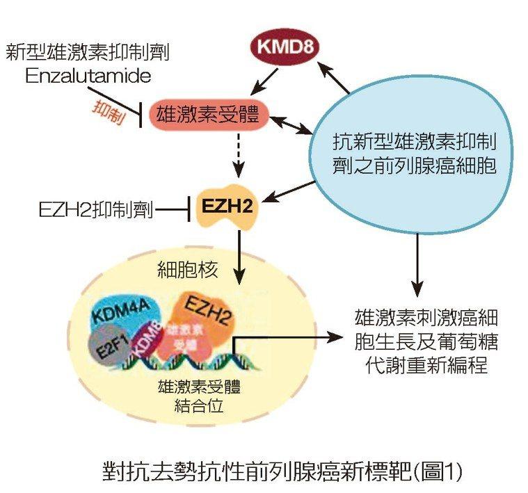 對抗去勢抗性前列腺癌新標靶(圖1) 圖/王鴻俊