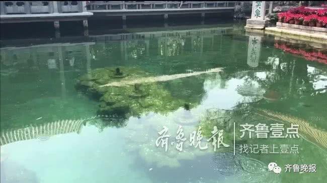 今年入夏以來在趵突泉泉池中,幾乎看不到三股水噴湧。取自齊魯晚報