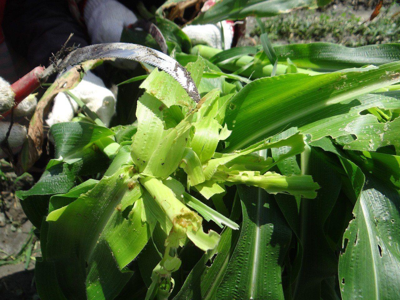 受感染的玉米葉心被啃得不成形。記者蔡維斌/攝影