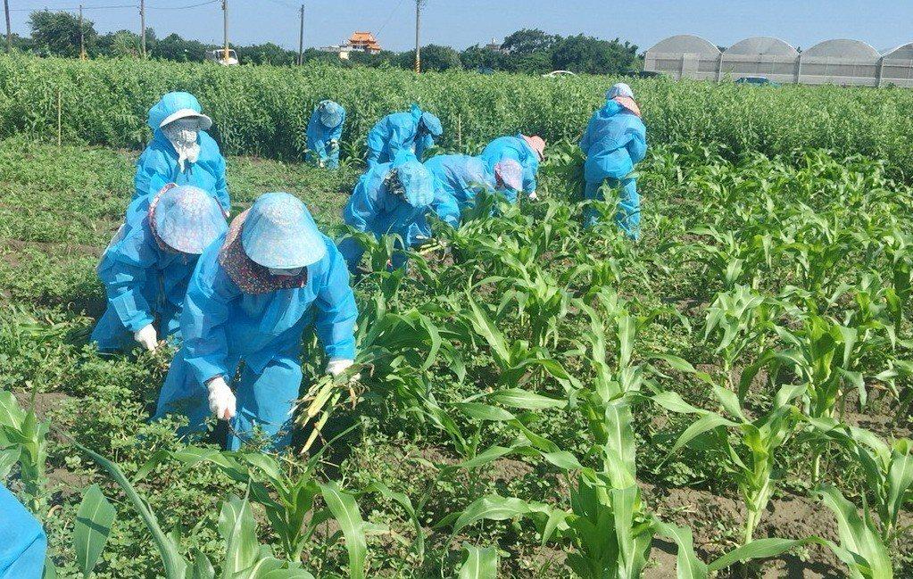所有工作人員下田滅蟲前都穿上防護衣,比照防疫大作戰規格。記者蔡維斌/攝影