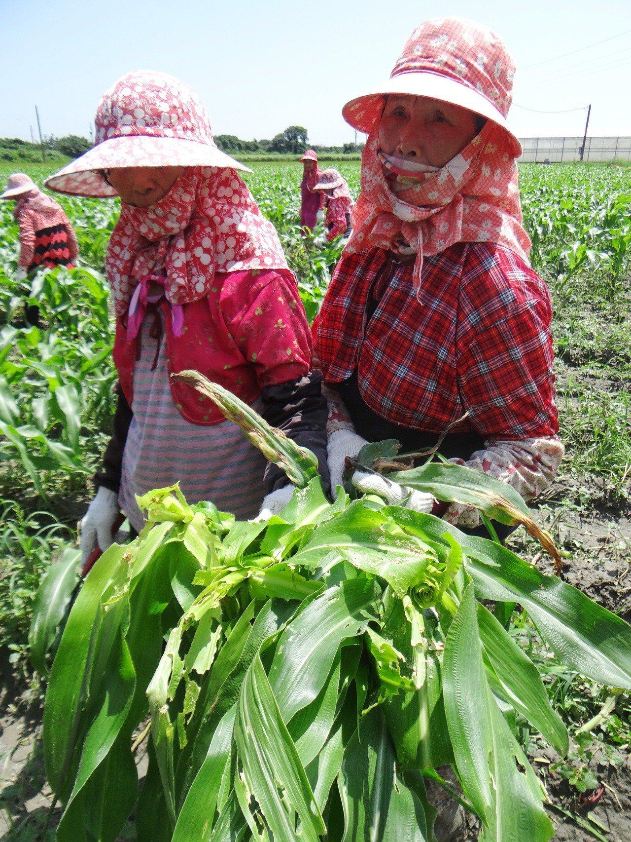 農民割起的玉米,葉心全被啃光,直說這種蟲太可怕了。記者蔡維斌/攝影